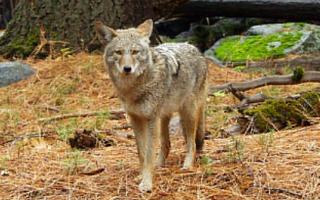 coyote15
